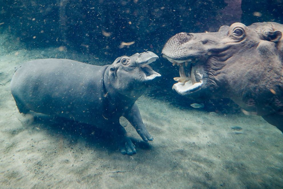 PHOTO: Fiona, a Nile hippopotamus, center, plays with her mother Bibi, in their enclosure at the Cincinnati Zoo & Botanical Garden, Nov. 2, 2017, in Cincinnati.