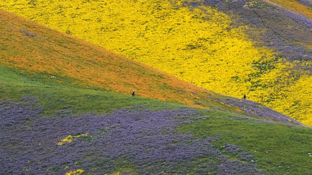 PHOTO: Orange, yellow and purple wildflowers paint the hills of the Tremblor Range, April 6, 2017, at Carrizo Plain National Monument near Taft, Calif.