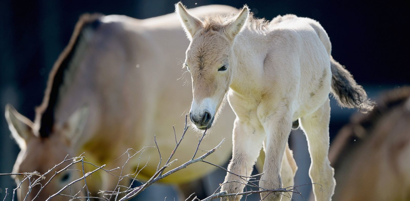 PHOTO: A Przewalskis colt foal is shown at the Highland Wildlife Park in Kingussie, Scotland, in this Sept. 9, 2013 photo.