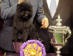PHOTO: Banana Joe, an Affenpinscher, won Best of Show during the Westminster Kennel Club Dog Show, Feb. 12, 2013 at Madison Square Garden in New York.