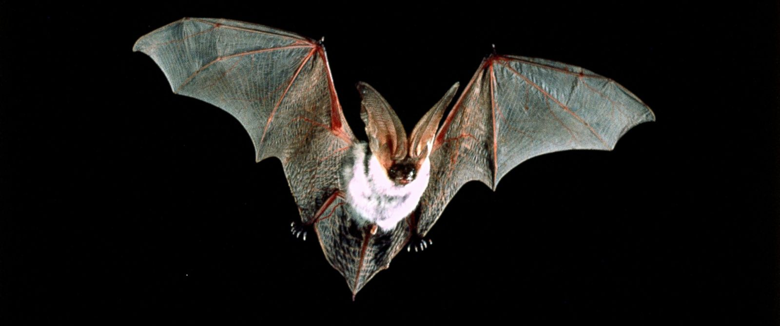 bats proposed as latest weapon to fight zika virus in