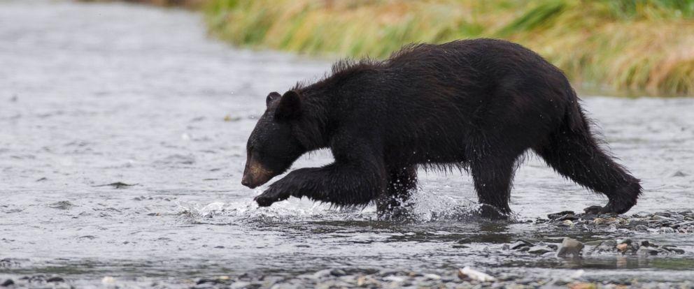 PHOTO: A file photo of a black bear.