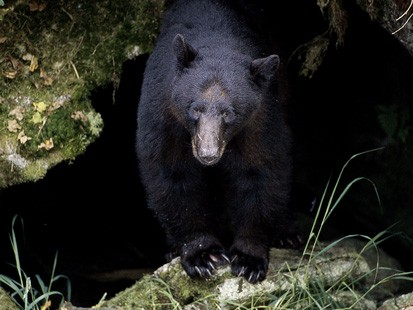 PHOTO: A Black Bear is shown at Tongass National Forest, in Alaska.