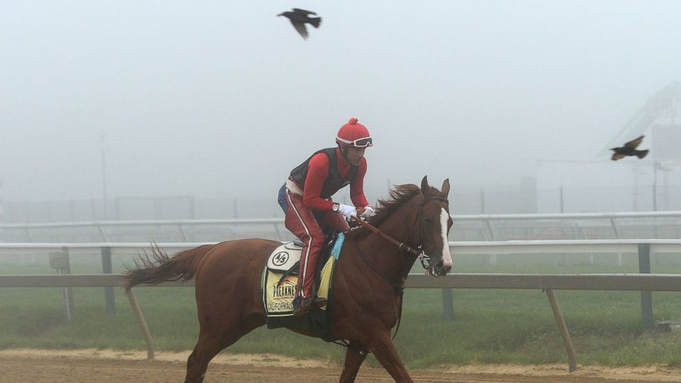PHOTO: Exercise rider Willie Delgado takes Kentucky Derby winner California Chrome over the track in preparation for the Preakness Stakes at Pimlico Race Course, May 15, 2014 in Baltimore, Md.