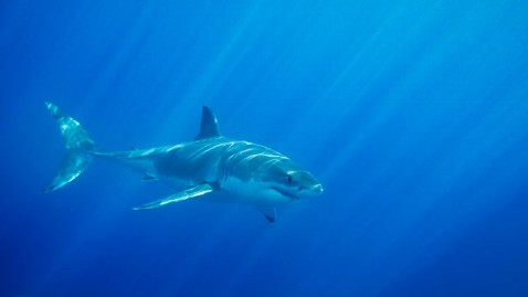 gty great white mi 130610 wblog Shark Sightings Rattle Nerves Along Cape Cod Coast