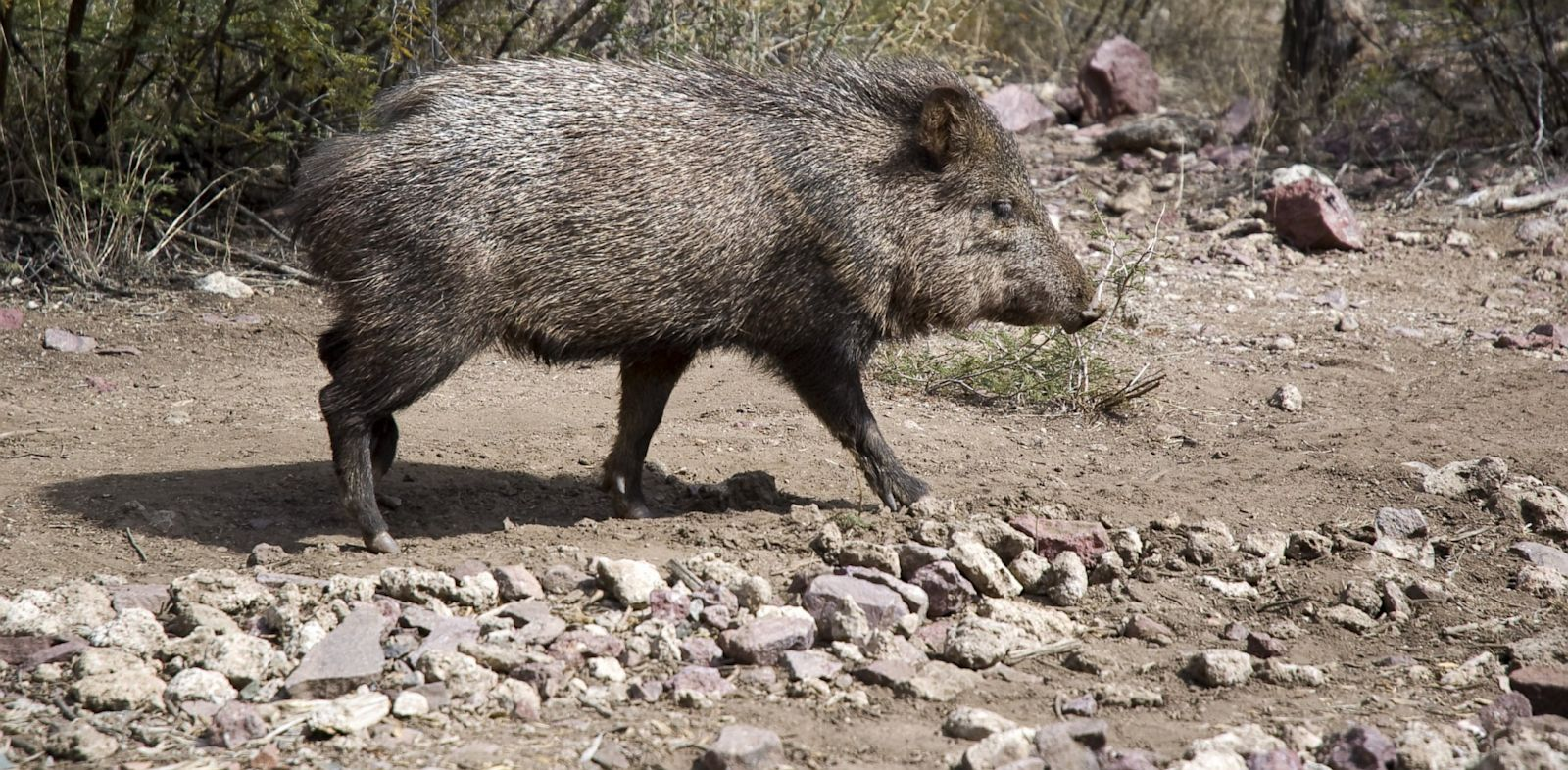 PHOTO: Javelina