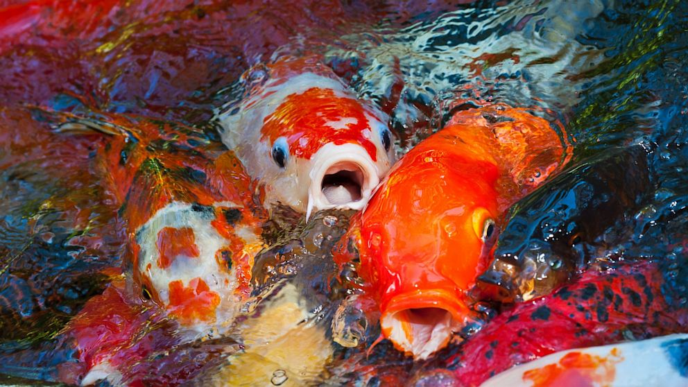 Koi swiped from virginia park pond abc news for Koi fish in pool