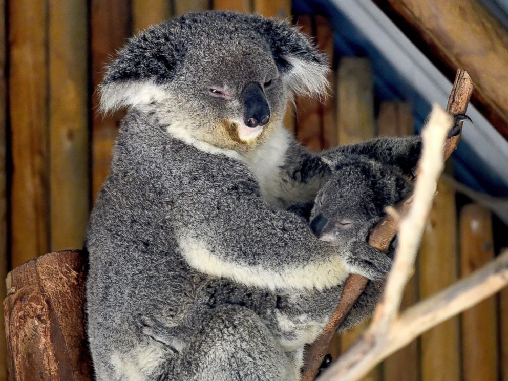 PHOTO: A mother Koala and her newly emerged unnamed Joey are pictured in the Australia section of the Los Angeles Zoo in Los Angeles, Calif. on March 12, 2015.