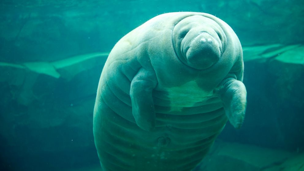 PHOTO: A manatee is seen at the Zoological Park of Paris on April 8, 2014 in Paris, France.