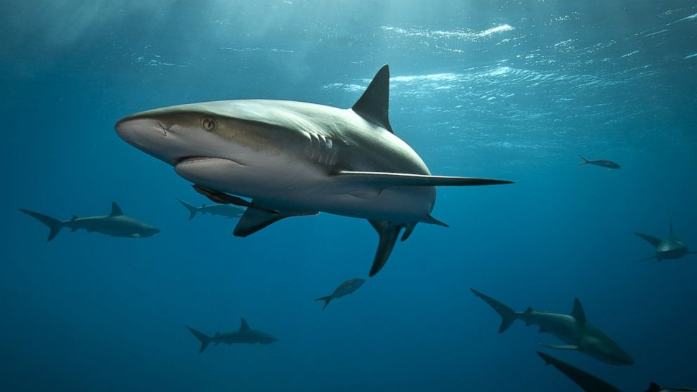 Images Of Sharks Global Shark At...