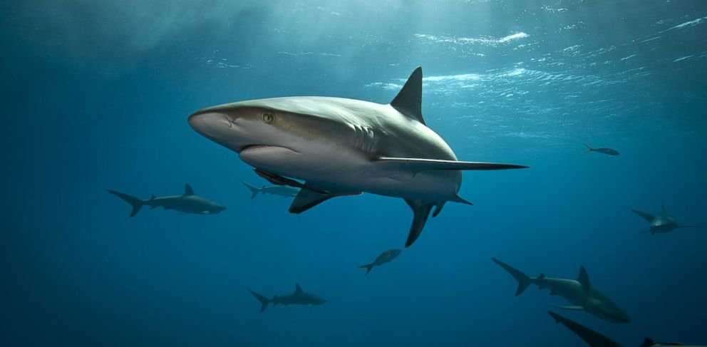 PHOTO: A shark in the Bahamas is pictured in this file photo.