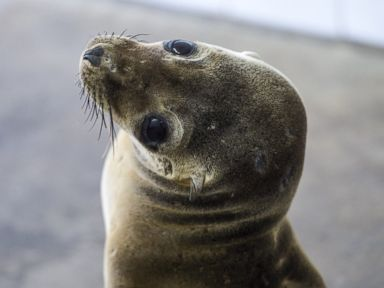 PHOTO: A rescued sea lion rests in a holding pen at the Pacific Marine Mammal Center in Laguna Beach, Calif., March 30, 2015.