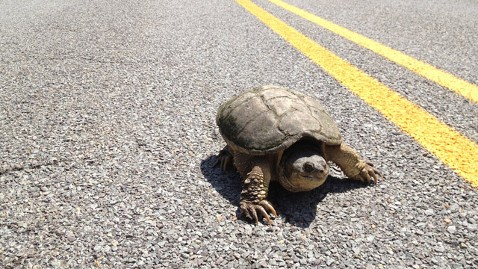 gty turtle crossing road jt 130615 wblog JFK Airport Officals Protect Incoming Turtles With Barrier