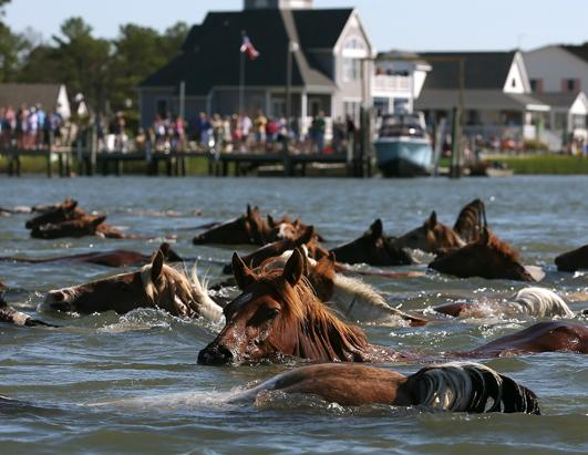 Photos: Chincoteague Wild Pony Swim