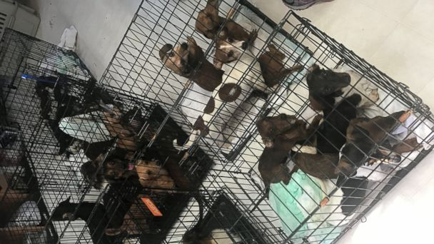 PHOTO: Two Florida-based animal groups, Save Underdogs and the Alaqua Animal Refuge, rescued 49 dachshunds from a single home in Arkansas over the weekend.