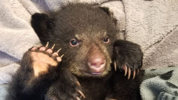 PHOTO: Oregon resident Corey Hancock came across a 3-month-old bear cub, nicknamed