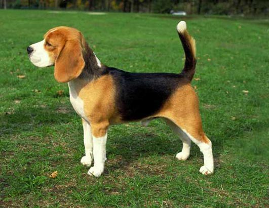 Beagle full grown