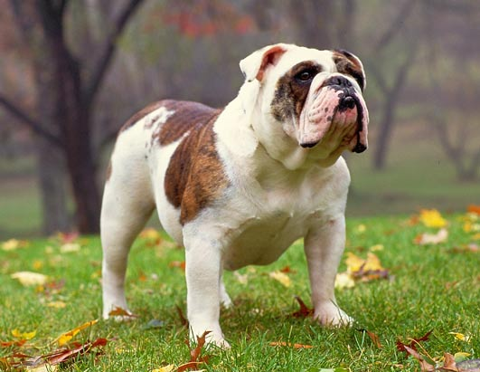 AKC Top 10 Breeds