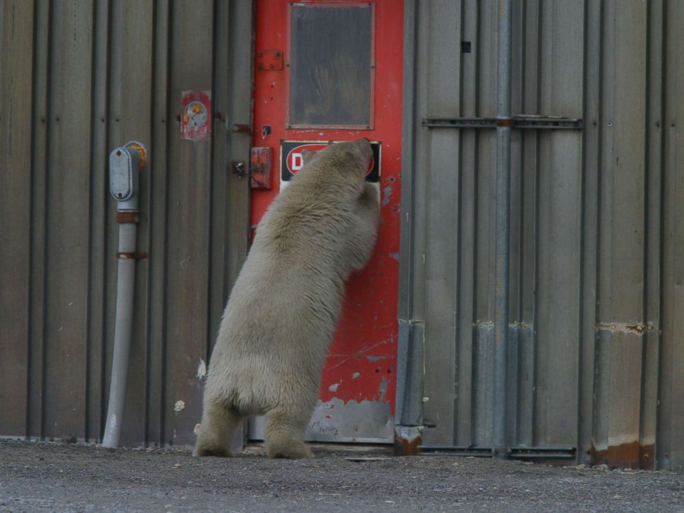 Polar bears wandering into Kaktovik proved to be such a problem that the town started a polar bear patrol.