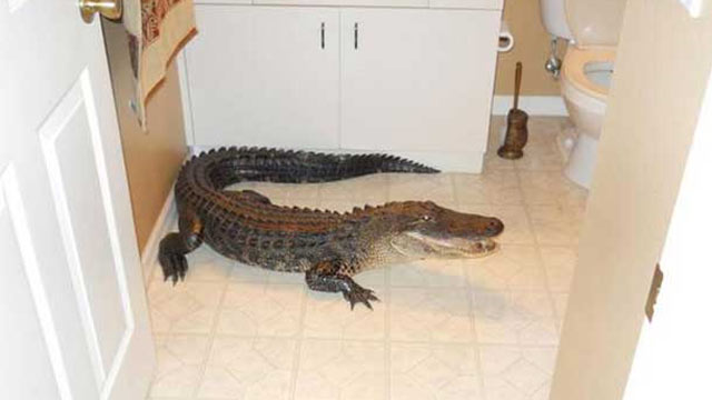 PHOTO: A woman found an unwelcome weekend guest in her bathroom: a 7-foot alligator.
