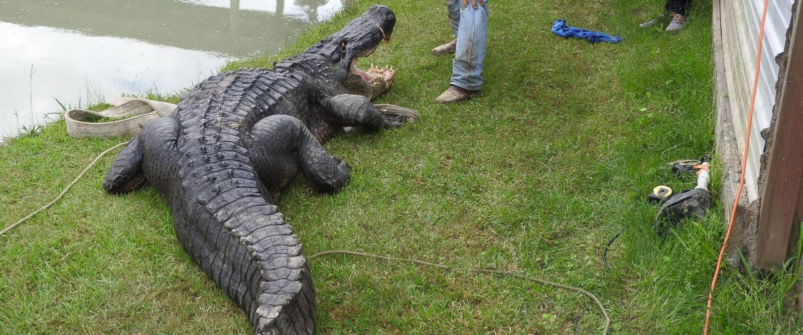 this alligator is the largest ever caught alive in texas wildlife