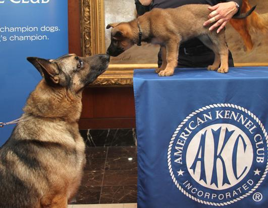 American Kennel Club's Most Popular Dogs Breeds