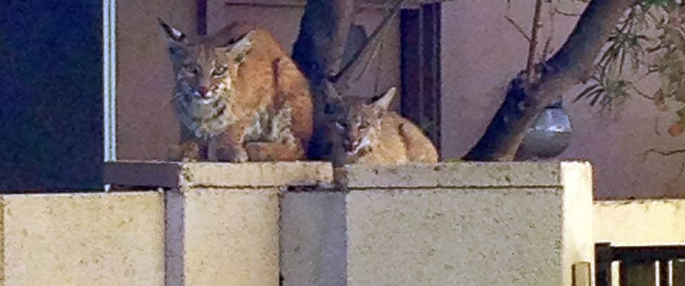 PHOTO: An Arizona woman spotted a mother bobcat and her two cubs in her backyard on Tuesday morning