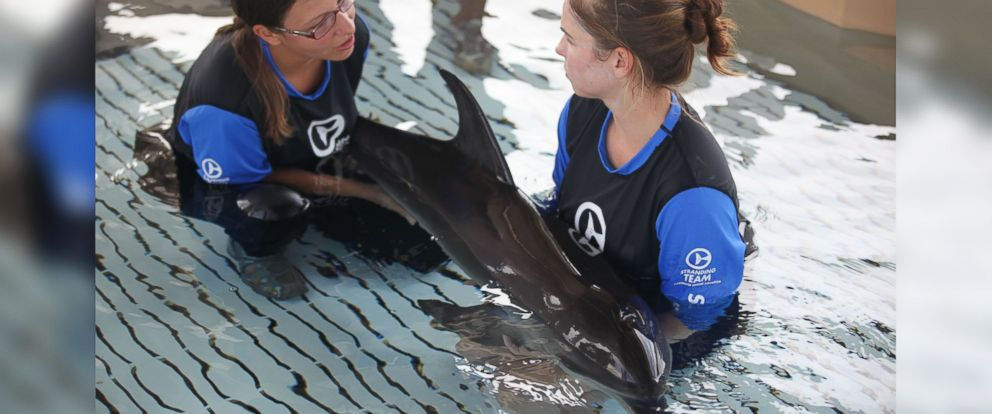 PHOTO: An Atlantic Spotted dolphin calf that was rescued off of Redington Beach, Florida on July 4, 2014 is seen in the care of handlers at the Clearwater Marine Aquarium as they work to help her regain strength.