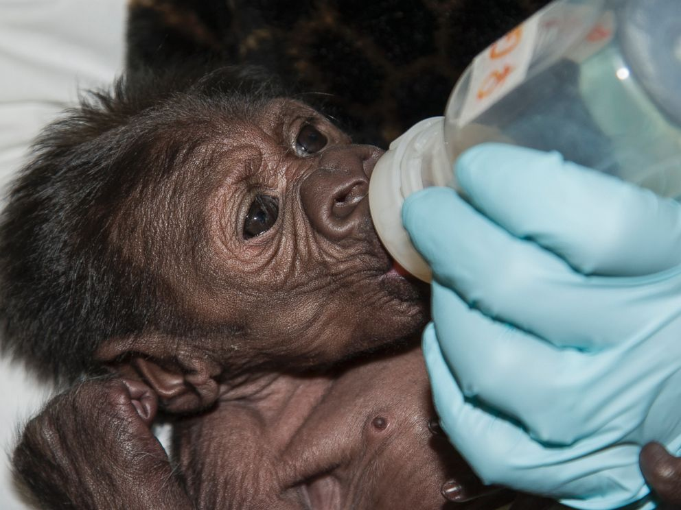 PHOTO: The 8-day-old gorilla at San Diego Zoo Safari Park is showing great improvement after a rare c-section birth: she is now strong enough to breathe on her own, and veterinary staff were able to start giving the gorilla bottles with a milk formula.
