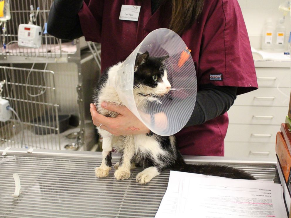 PHOTO: Bart, a cat who was hit by a car and buried before being found alive by his owner, undergoes surgery at the Humane Society in Tampa, Fla.