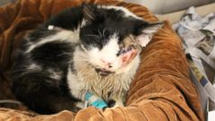 PHOTO: Bart, a Florida cat who was hit by a car and appeared dead, is recovering after surgery at the Humane Society in Tampa, Fla.