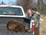 PHOTO: The body of a dead bear that attacked Toby Burke and his family lies in the back of a pickup truck in Alaska.