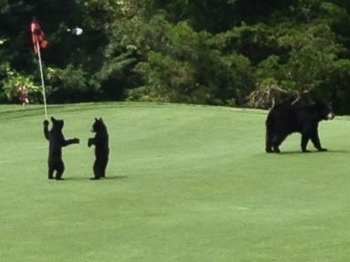 Watch Bear Cubs Goof Off on a Golf Course