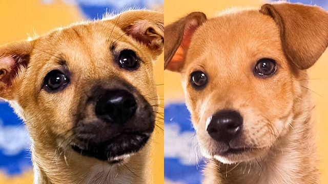 PHOTO: Biscuit (L) and Butterscotch are two puppies competing in this year's Puppy Bowl on Animal Planet. Both dogs were rescued by the Sato Project after being born on Dead Dog Beach in Puerto Rico, a beach where dogs are often abandoned and abused.