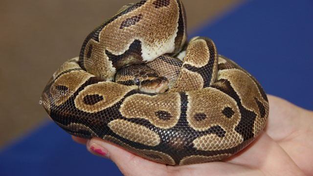 PHOTO: Saturday, the Florida Fish and Wildlife Conservation held Exotic Pet Amnest
