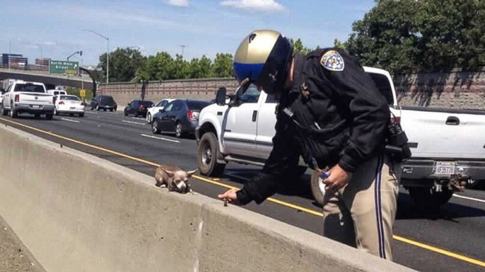 PHOTO: A California Highway Patrol officer rescues a chihuahua from the median of I-680 in Walnut Creek, Calif. on May 9, 2014.