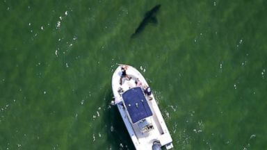 PHOTO: Researchers working with the Atlantic White Shark Conservancy identified two great white sharks on July 28, 2015.