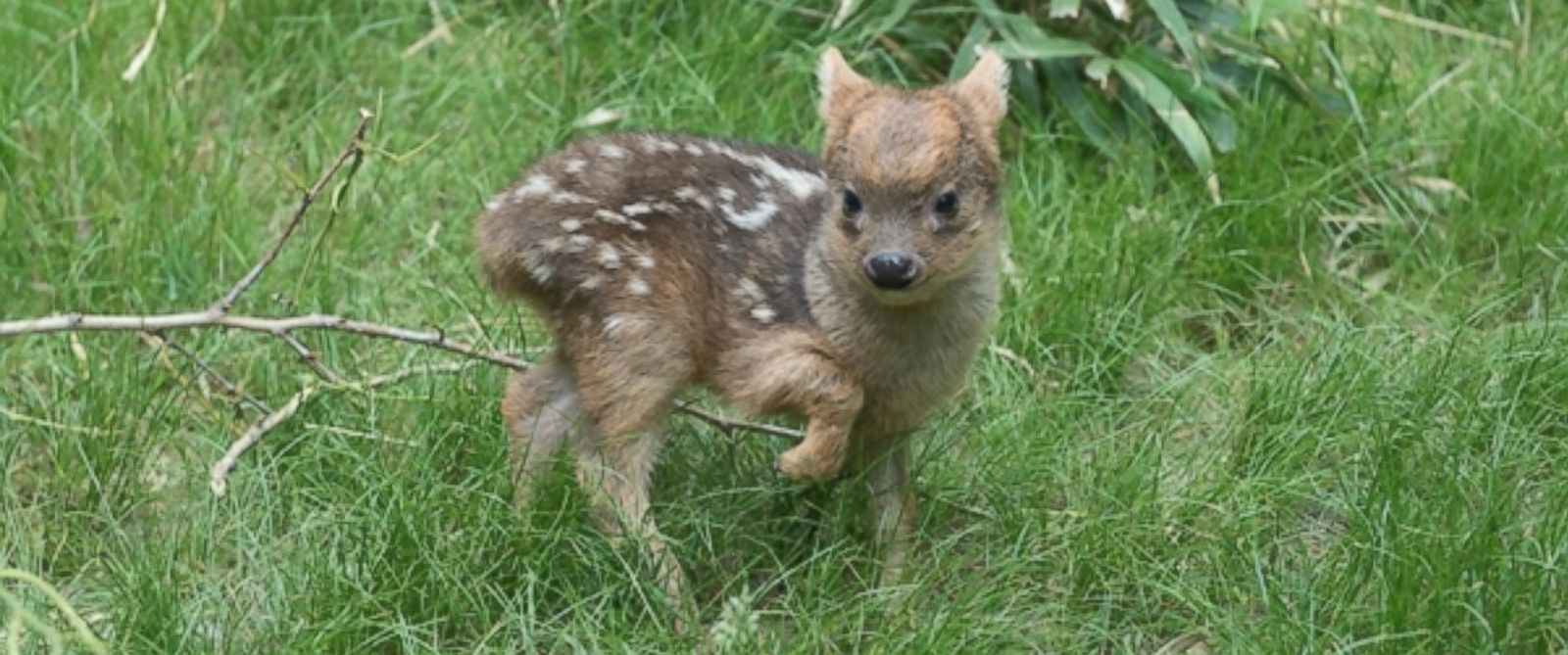 PHOTO: A photo released by the Wildlife Conservation Society shows the worlds smallest deer species, born at the Queens Zoo in New York.