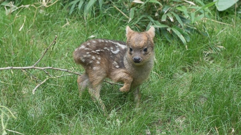 World's Smallest Deer Species Born at NY Zoo - ABC News