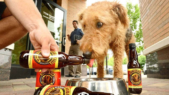 PHOTO: Mattie, an Airdale terrier, knocks back a Bowser Beefy Brown Ale at Bubbly Paws in St. Louis Park, Minn., June 13, 2012.
