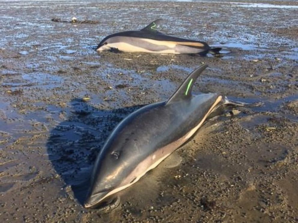 Cape Cod Animal Rescue Part - 32: PHOTO: Sixteen Dolphins Were Rescued On Sept. 15, 2016, After They Were