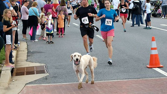 PHOTO:&nbsp;Dozer, a 3-yr. old goldendoodle, has raised $17,000 running a marathon for cancer research.