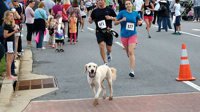 PHOTO: Dozer, a 3-yr. old goldendoodle, has raised $17,000 running a marathon for cancer research.