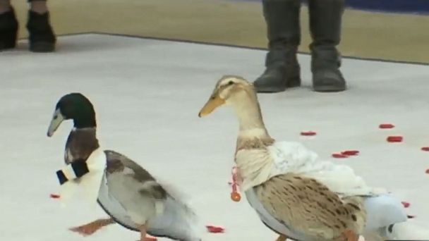 PHOTO: Ducks Plumpty and Pierre were married in a ceremony hosted by kindergartners at a school in New Hampshire on Feb. 23, 2017.