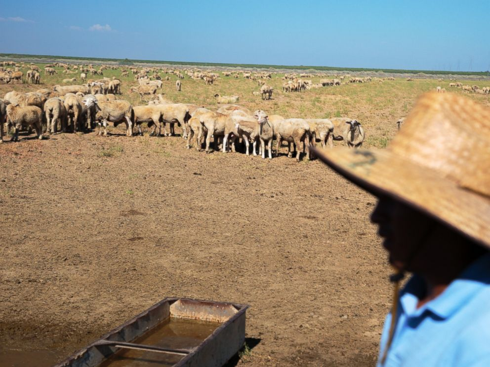 PHOTO: A farmer tends to his sheep in Wasco, Calif. on July 2, 2014.