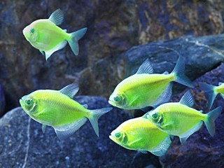 Are Genetically Modified 'Glofish' Dangerous?