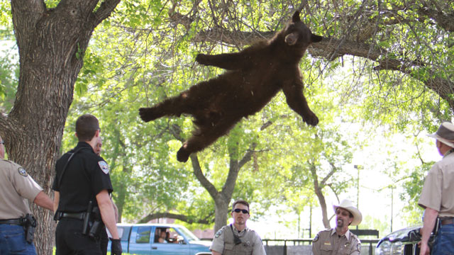 PHOTO: A bear that entered the University of Colorado campus and climbed up a tree before it was tranquilized and relocated back to the mountains, April 26, 2012.