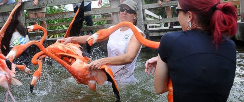 PHOTO: The flamingos will be off exhibit for 14 months, the zoo said on its Facebook page.