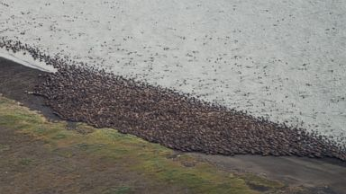 PHOTO: Aerial photographs made by Gary Braasch on Aug. 23, 2015 show thousands of Pacific walrus coming ashore near Point Lay in Alaska.