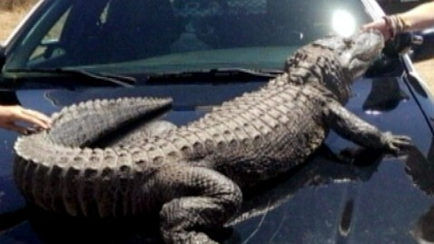 ht gator in car ml 130607 wblog 911 Caller Sees Alligator by Road in California